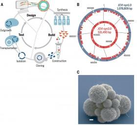 Araştırmacılar Bilinen En Küçük Genoma Sahip Yaşayan Bir Hücre Ürettiler